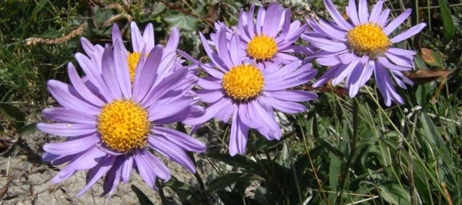 tmb-flore-2-asters-2060